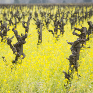Springtime in Napa Valley, Mustard blooming among the vines